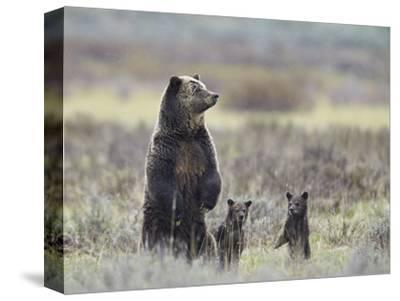 Grizzly Bear (Ursus Arctos Horribilis) Sow and Two Cubs of Year All Standing Up on their Hind Legs
