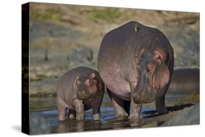 Hippopotamus (Hippopotamus Amphibius) Mother and Calf