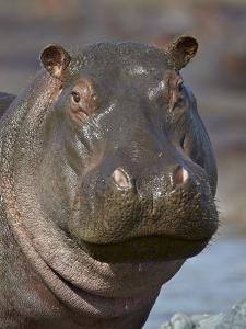 Hippopotamus (Hippopotamus Amphibius), Serengeti National Park, Tanzania by James Hager