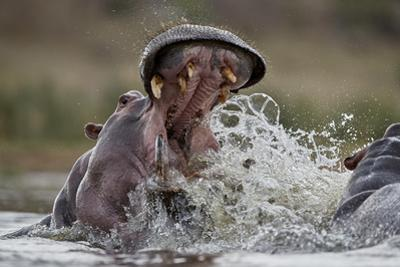 Hippopotamus (Hippopotamus amphibius) sparring, Kruger National Park, South Africa, Africa by James Hager