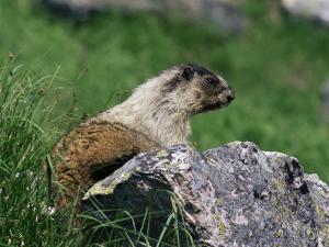 Hoary Marmot (Marmotta Caligata), Banff National Park, Alberta, Canada, North America by James Hager