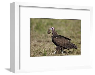 Hooded Vulture (Necrosyrtes Monachus) in Mixed Juvenile and Adult Plumage