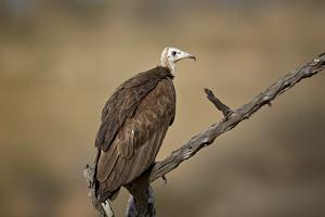 Hooded vulture (Necrosyrtes monachus), Selous Game Reserve, Tanzania, East Africa, Africa by James Hager