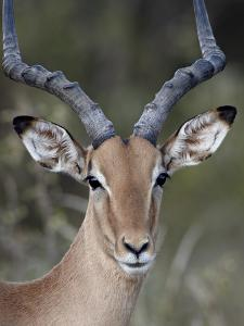 Impala (Aepyceros Melampus) Buck, Kruger National Park, South Africa, Africa by James Hager