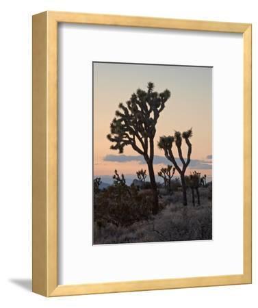 Joshua Trees at Sunset, Joshua Tree National Park, California