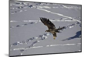 Juvenile Golden Eagle (Aquila Chrysaetos) in Flight over Snow in the Winter by James Hager
