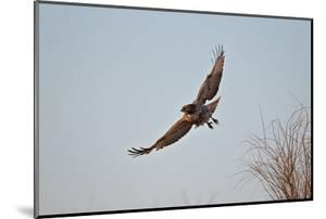 Juvenile Red-Tailed Hawk (Buteo Jamaicensis) in Flight by James Hager