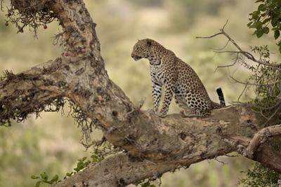 Leopard (Panthera Pardus) in a Fig Tree, Kruger National Park, South Africa, Africa by James Hager