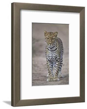 Leopard (Panthera Pardus), Ngorongoro Conservation Area, Serengeti, Tanzania, East Africa, Africa