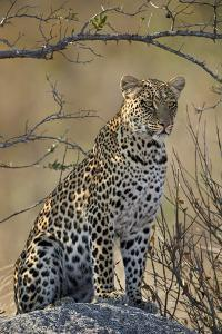 Leopard (Panthera pardus), Ruaha National Park, Tanzania, East Africa, Africa by James Hager
