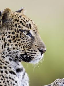 Leopard (Panthera Pardus), Samburu National Reserve, Kenya, East Africa, Africa by James Hager
