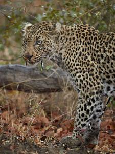 Leopard (Panthera pardus) with Cape porcupine quills stuck in it, Kruger National Park, South Afric by James Hager
