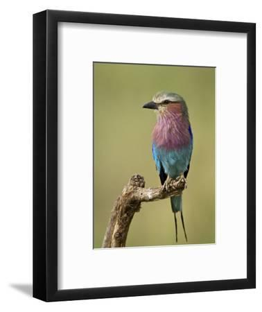 Lilac-Breasted Roller (Coracias Caudata), Serengeti National Park, Tanzania, East Africa, Africa