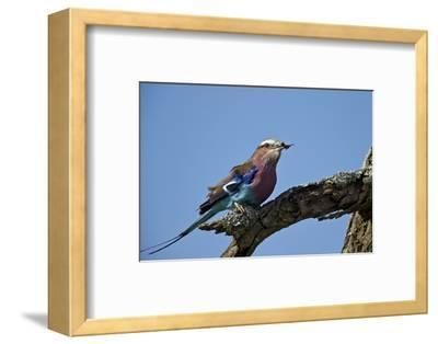 Lilac-Breasted Roller (Coracias Caudata) with an Insect