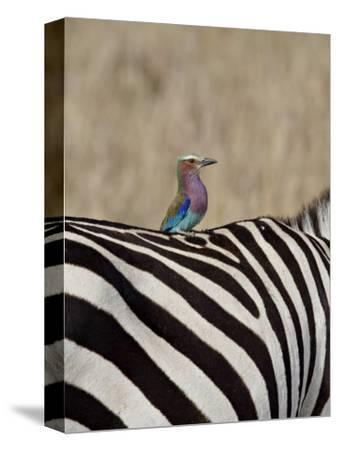 Lilac-Breasted Roller on the Back of a Grants Zebra