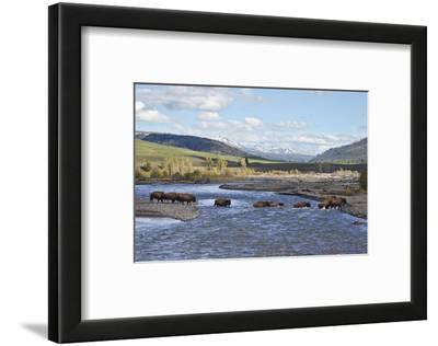 Line of Bison (Bison Bison) Crossing the Lamar River