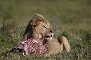 Lion (Panthera Leo) at a Wildebeest Carcass by James Hager