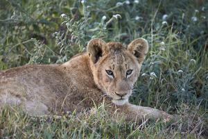 Lion (Panthera Leo) Cub, Ngorongoro Crater, Tanzania, East Africa, Africa by James Hager