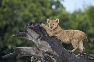 Lion (Panthera Leo) Cub on a Downed Tree Trunk in the Rain by James Hager