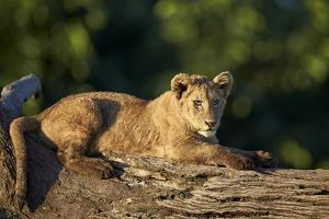 Lion (Panthera Leo) Cub on a Downed Tree Trunk, Ngorongoro Crater, Tanzania, East Africa, Africa by James Hager
