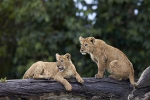 Lion (Panthera Leo) Cubs on a Downed Tree Trunk in the Rain by James Hager