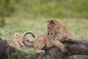 Lion (Panthera Leo) Cubs Playing, Ngorongoro Crater, Tanzania, East Africa, Africa by James Hager