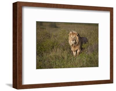 Lion (Panthera Leo), Ngorongoro Conservation Area, Serengeti, Tanzania, East Africa, Africa