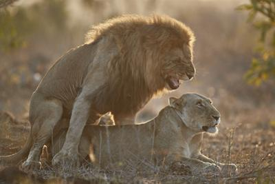 Lion (Panthera leo) pair mating, Kruger National Park, South Africa, Africa by James Hager