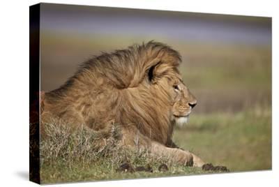 Lion (Panthera Leo), Serengeti National Park, Tanzania, East Africa, Africa
