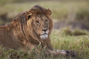 Lion (Panthera Leo), Serengeti National Park, Tanzania, East Africa, Africa by James Hager