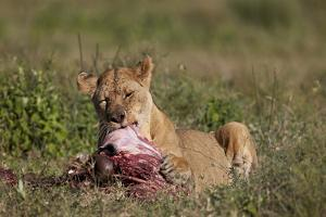 Lioness (Panthera Leo) at a Wildebeest Carcass by James Hager