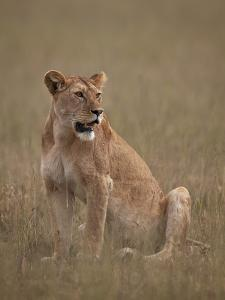Lioness (Panthera Leo), Serengeti National Park, Tanzania, East Africa, Africa by James Hager