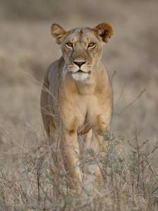 Lioness, Samburu National Reserve, Kenya, East Africa, Africa by James Hager
