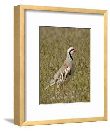 Male Chukar (Alectoris Chukar), Antelope Island State Park, Utah, United States of America