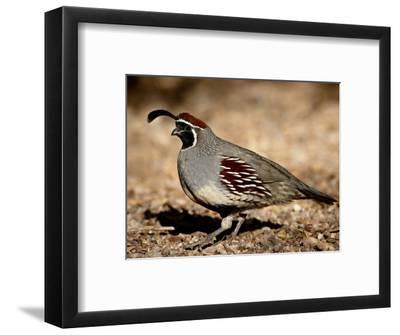 Male Gambel's Quail Scratching for Food, Henderson Bird Viewing Preserve