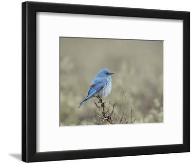 Male Mountain Bluebird (Sialia Currucoides), Yellowstone National Park, UNESCO World Heritage Site,