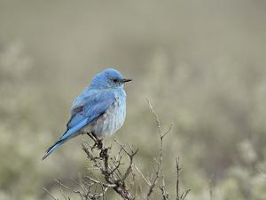 Male Mountain Bluebird (Sialia Currucoides), Yellowstone National Park, UNESCO World Heritage Site, by James Hager
