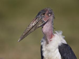 Marabou Stork (Leptoptilos Crumeniferus) by James Hager