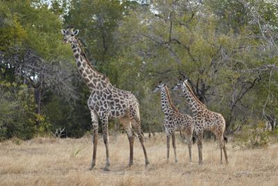 Masai giraffe (Giraffa camelopardalis tippelskirchi), adult and two juveniles, Selous Game Reserve, by James Hager
