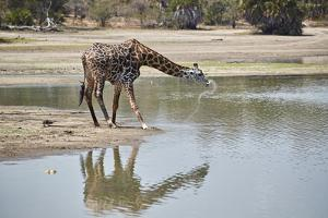 Masai giraffe (Giraffa camelopardalis tippelskirchi) drinking, Selous Game Reserve, Tanzania, East  by James Hager