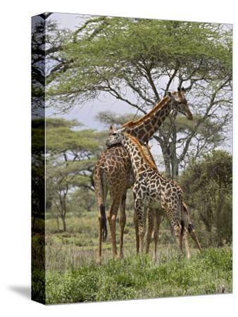 Masai Giraffe Mother and Young, Serengeti National Park, Tanzania, Africa