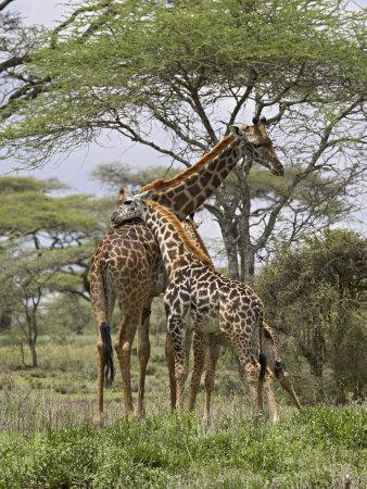 Masai Giraffe Mother and Young, Serengeti National Park, Tanzania, Africa