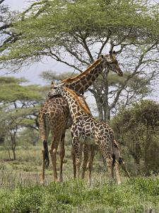 Masai Giraffe Mother and Young, Serengeti National Park, Tanzania, Africa by James Hager