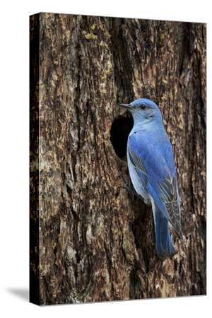 Mountain Bluebird (Sialia Currucoides), Male at Nest Cavity, Yellowstone National Park, Wyoming