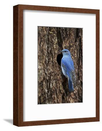 Mountain Bluebird (Sialia Currucoides), Male at Nest Cavity, Yellowstone National Park, Wyoming