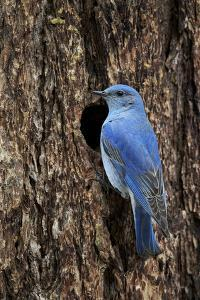 Mountain Bluebird (Sialia Currucoides), Male at Nest Cavity, Yellowstone National Park, Wyoming by James Hager