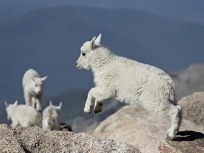 Mountain Goat Kid Jumping, Mt Evans, Arapaho-Roosevelt Nat'l Forest, Colorado, USA