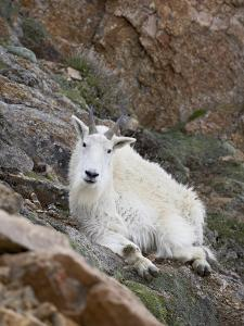 Mountain Goat, Mount Evans, Colorado, United States of America, North America by James Hager