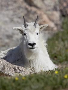 Mountain Goat, Mount Evans, Colorado by James Hager