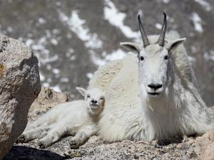 Mountain Goat Nanny and Kid, Mount Evans, Colorado, USA by James Hager